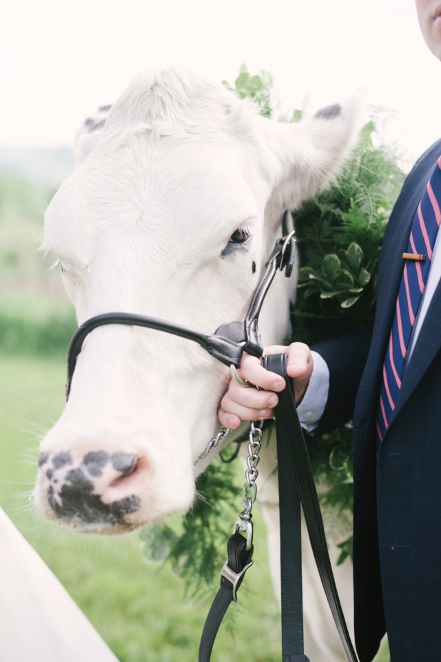 holy cow would you invite this cute cow to your wedding