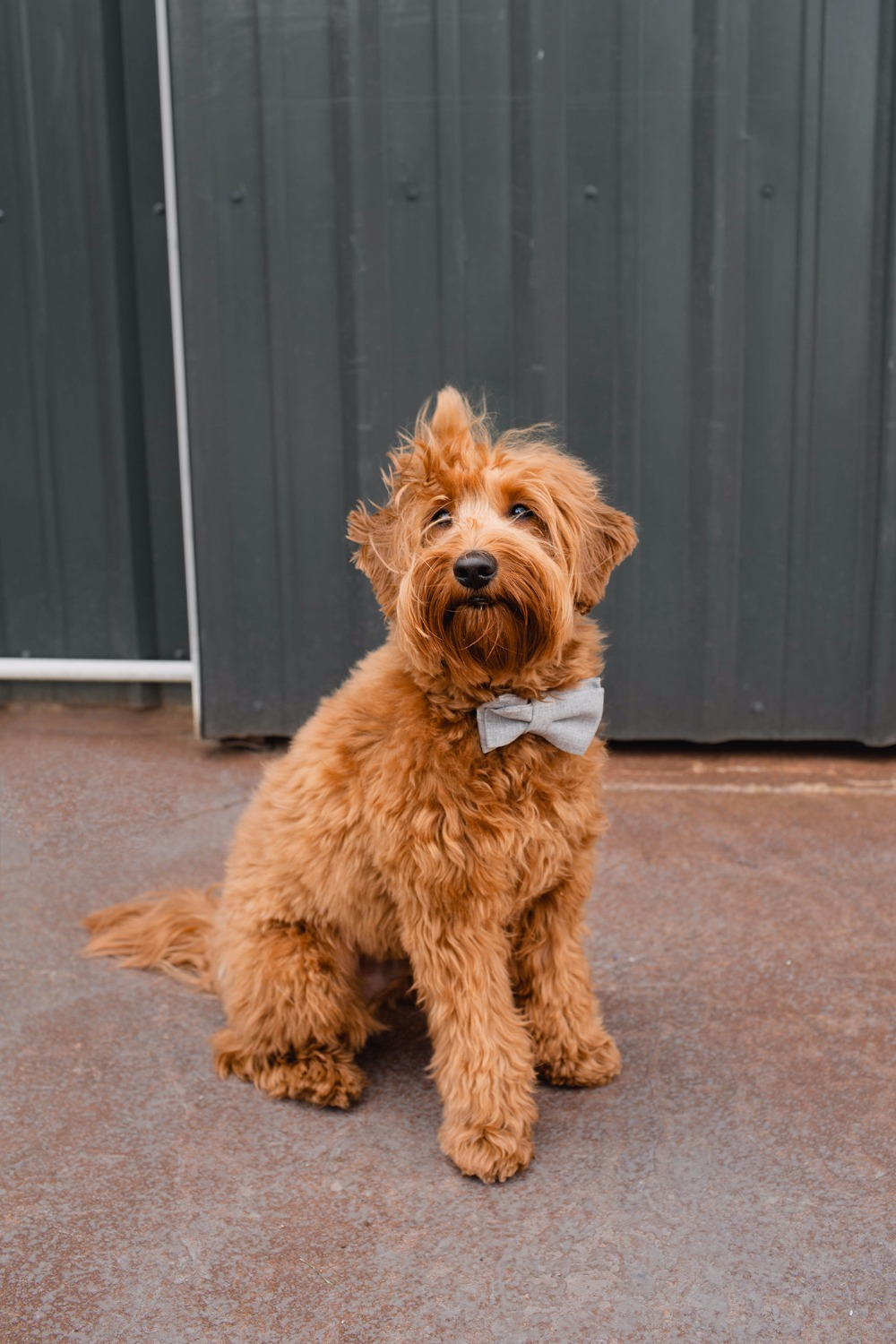 Cute wedding pup with bowtie