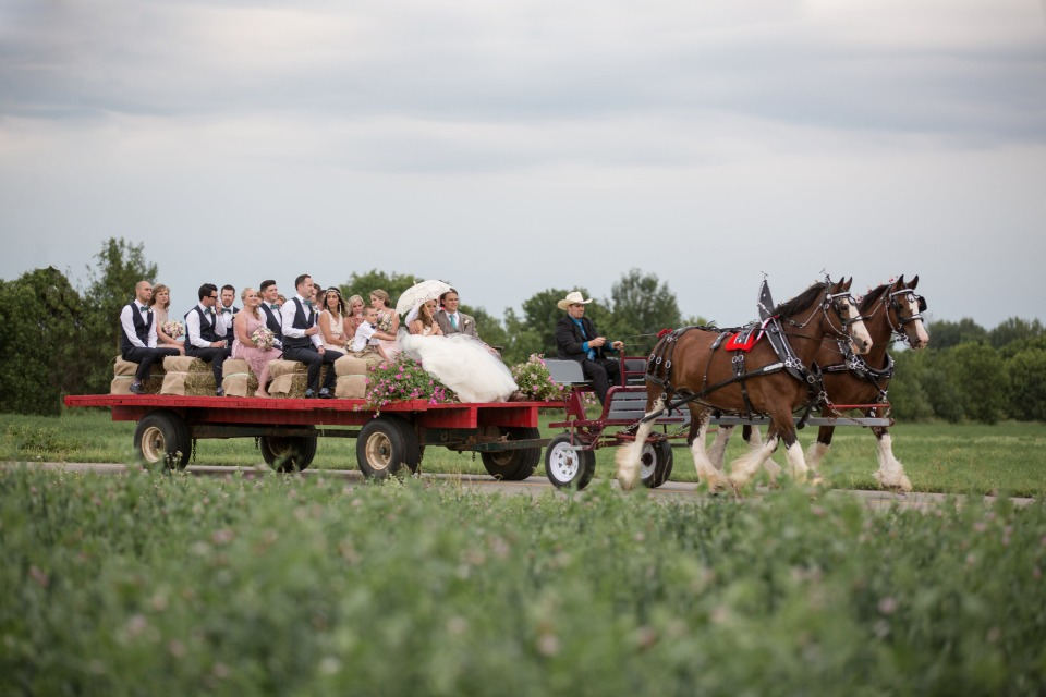 wedding party arriving to the reception via Clydesdale pulled wagon