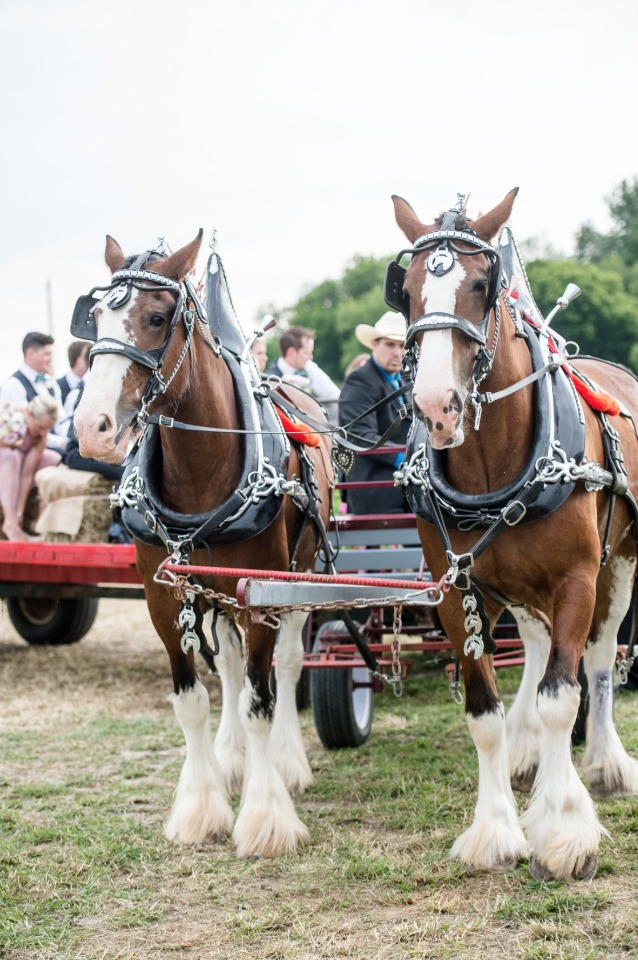 Clydesdale drawn wagon