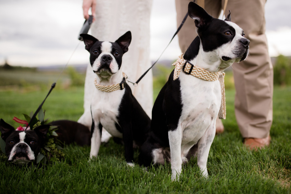 wedding pups with bow ties