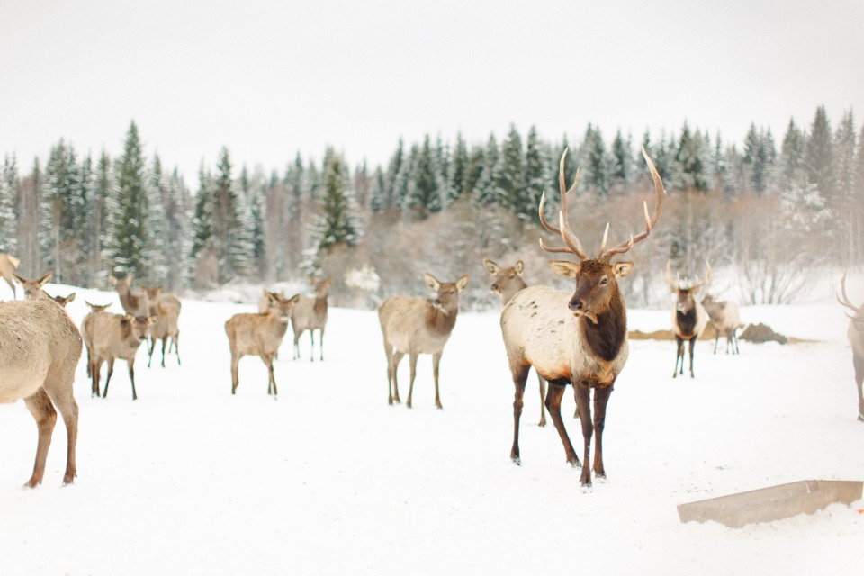 elk on a farm in Russia