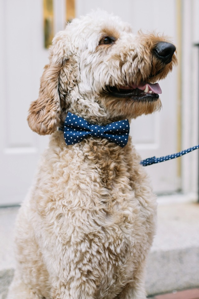 wedding goldendoodle in a dapper bow tie