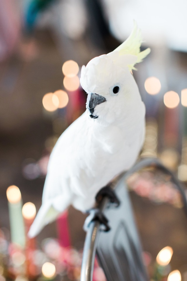 Cute wedding parrot