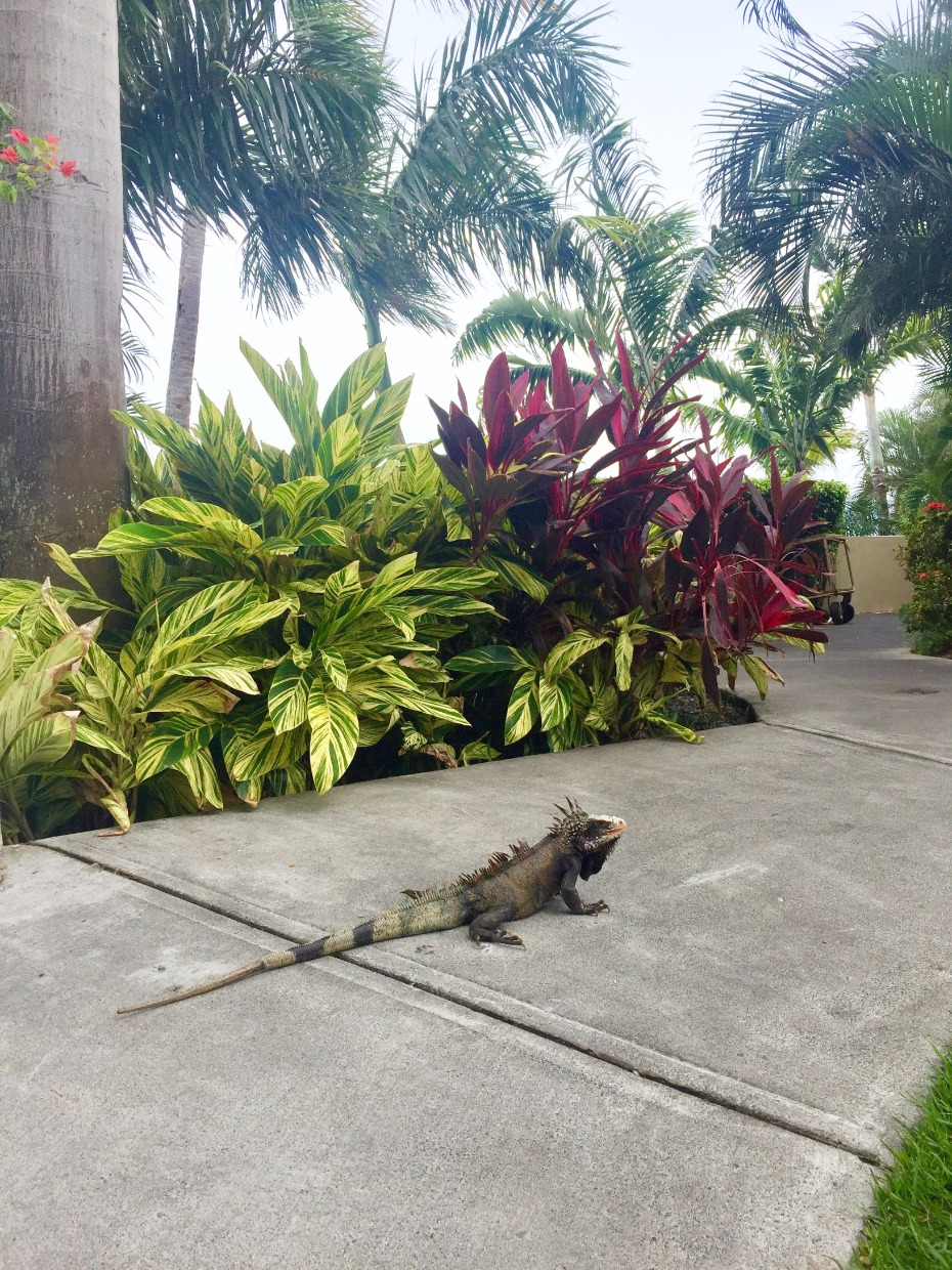 Frenchman's Reef & Morning Star Marriott Beach Resort iguanas on property