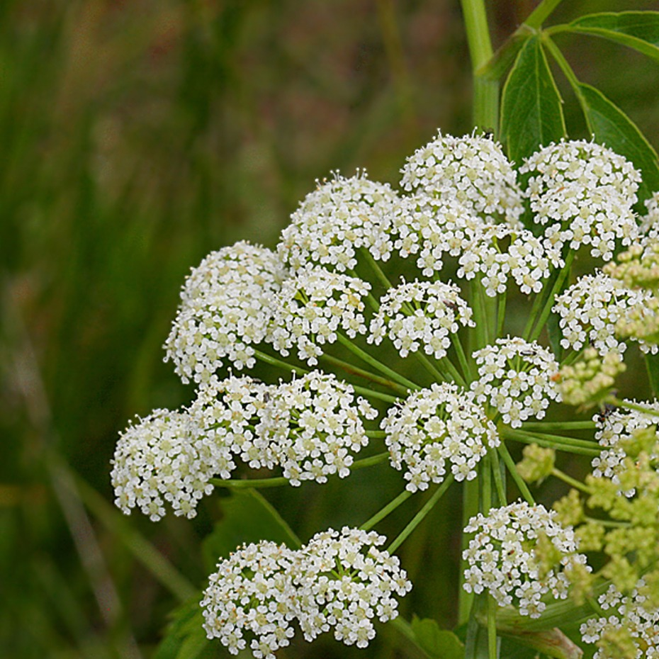 You should know about these 10 Poisonous flowers like Hemlock