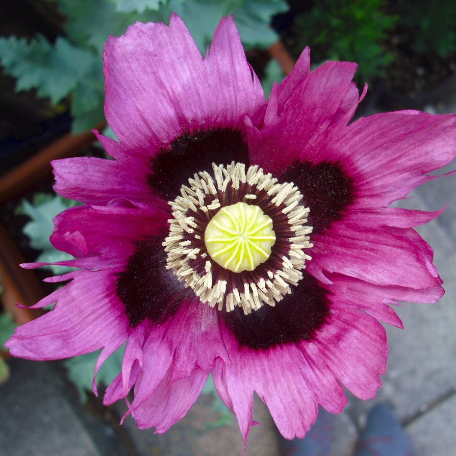 You should know about these 10 Poisonous flowers like the opium poppy