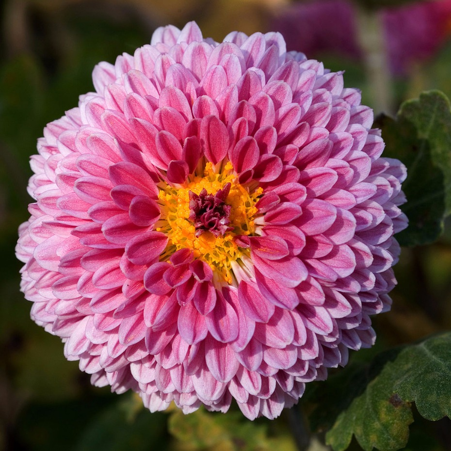 100 poisonous pink flowers top 10 poisonous plants of