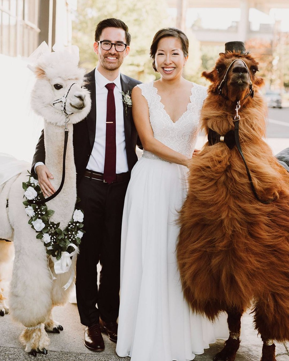 Wedding Rentals Portland Or: How To Have An Alpaca At Your Wedding
