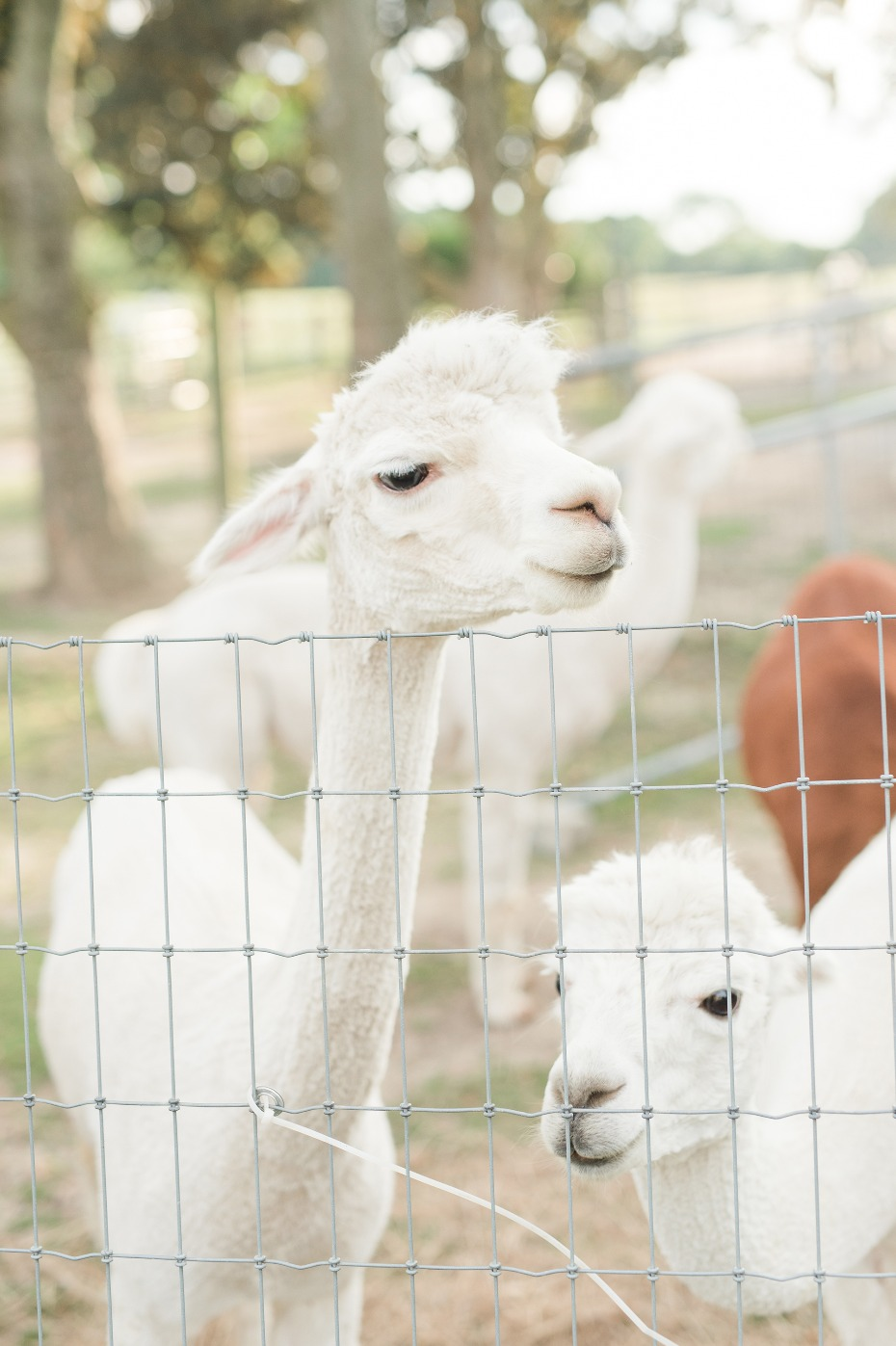 Who wants to get married on a Alpaca farm!