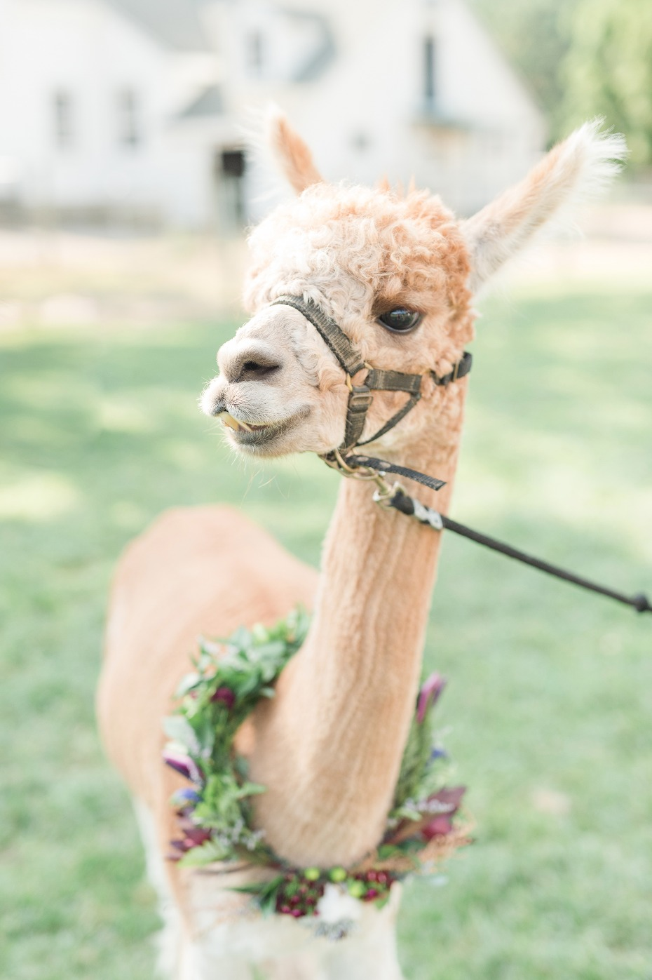 Alpaca the wedding ring