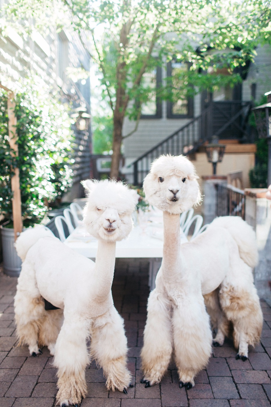 Wedding Alpacas!