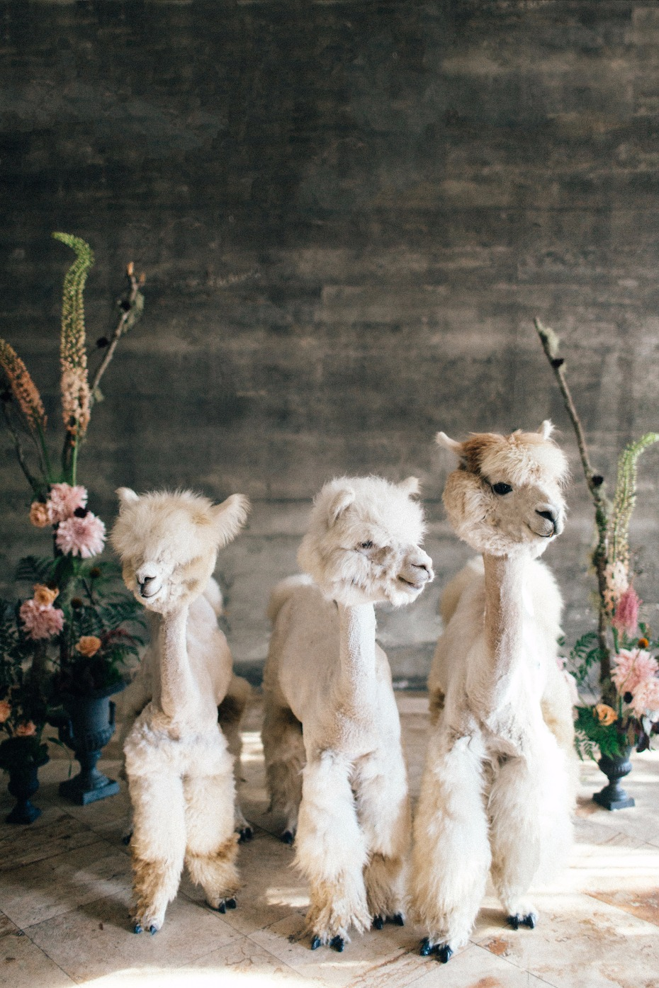 Therapy Alpacas for your wedding