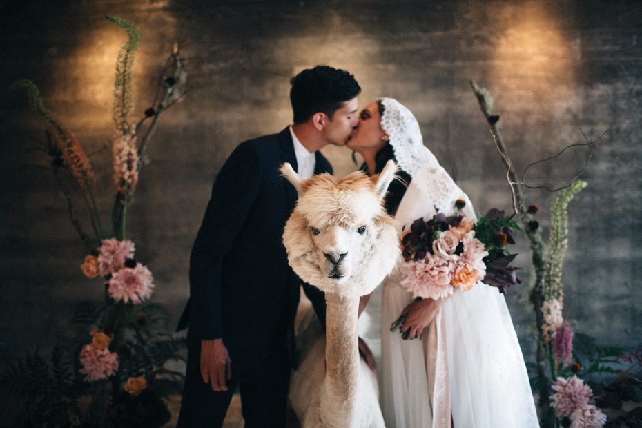 Alpaca for your wedding