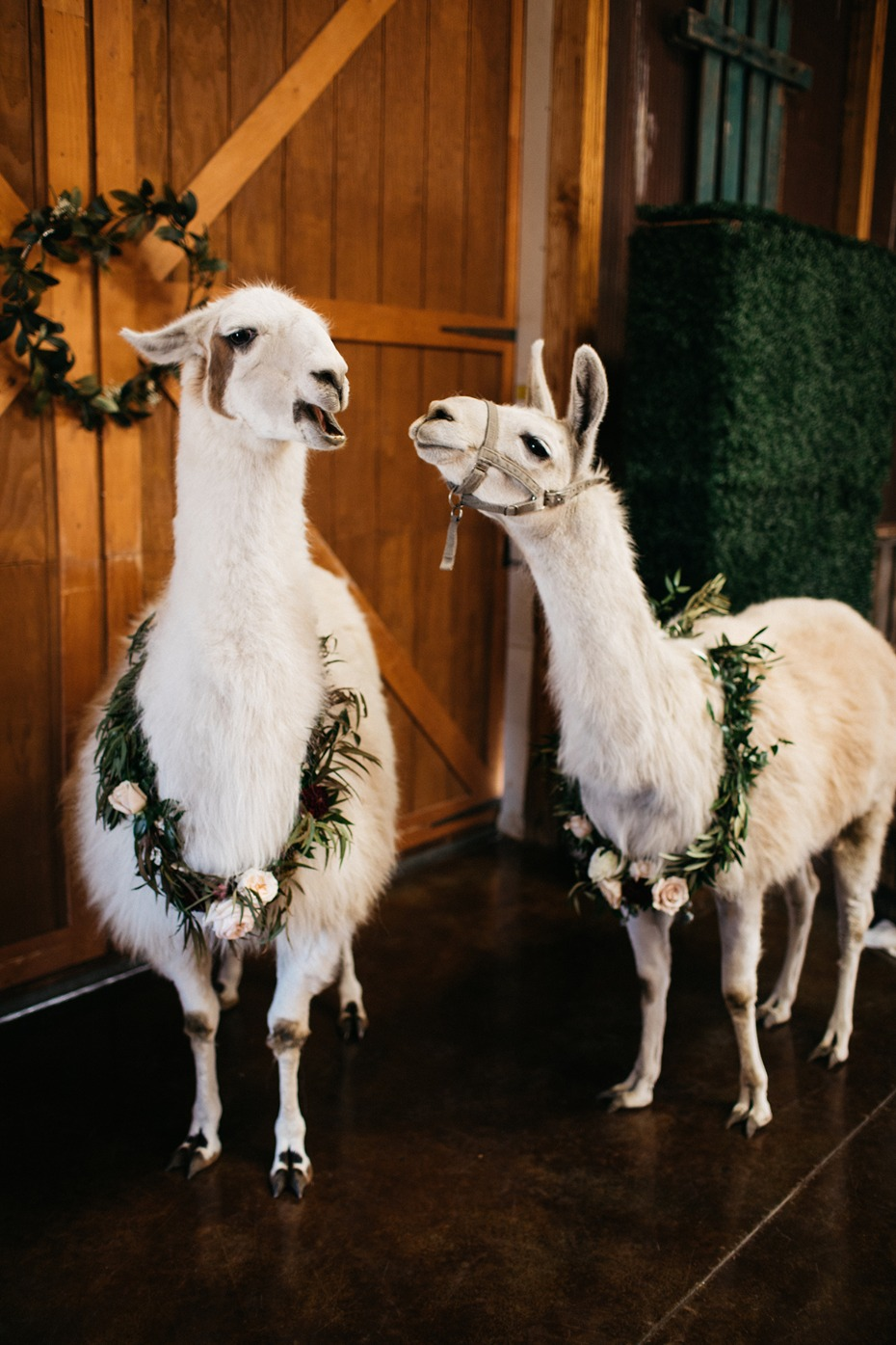 lets get this llama wedding started