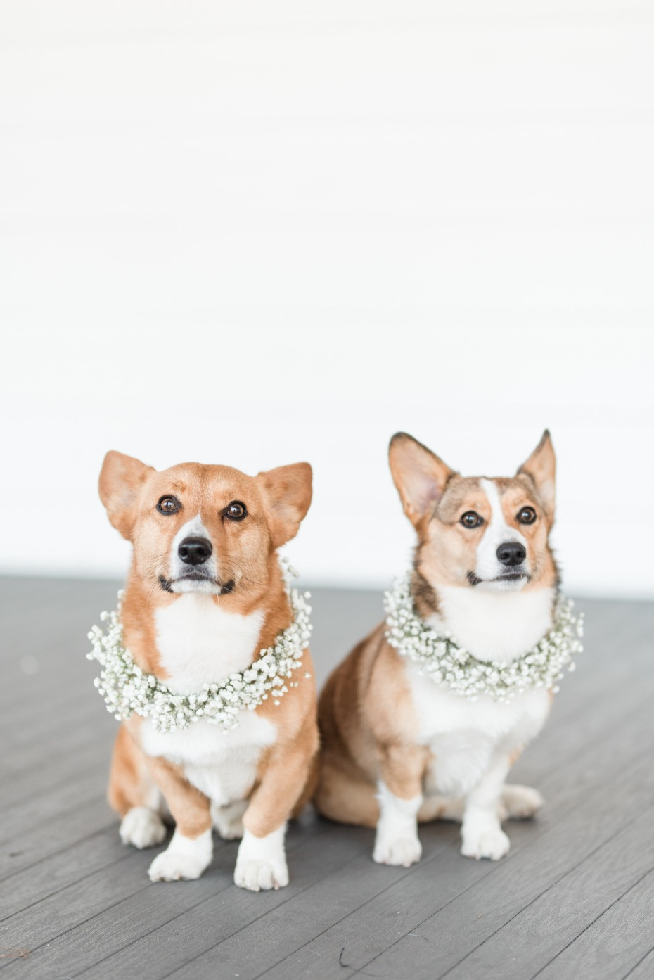Wedding corgis with babys breath collars