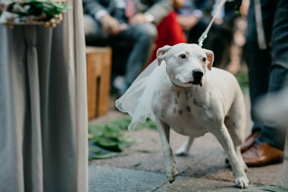 wedding pup in veil
