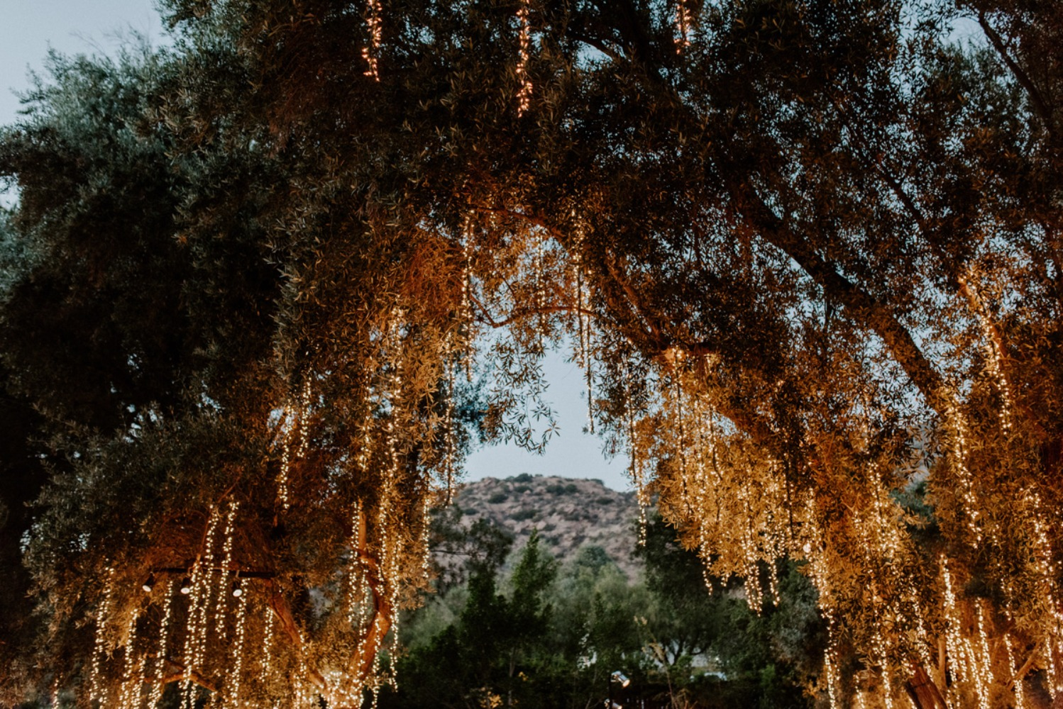 trees dripping with lights