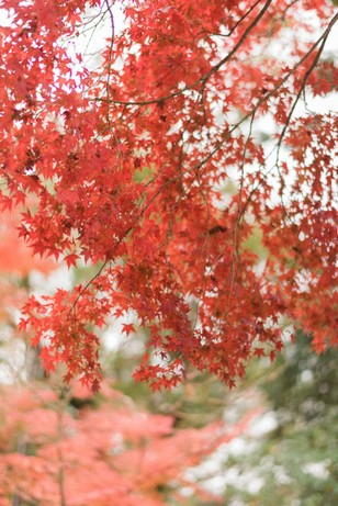 Japanese maple changing colors