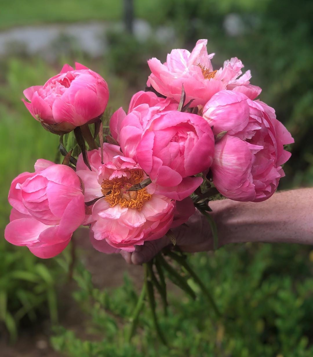 If ever there were a perfect focal flower, #coralcharmpeonies