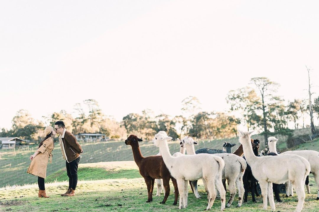 Alvin & Becca, Albecca with the alpacas 😂 #axioowill